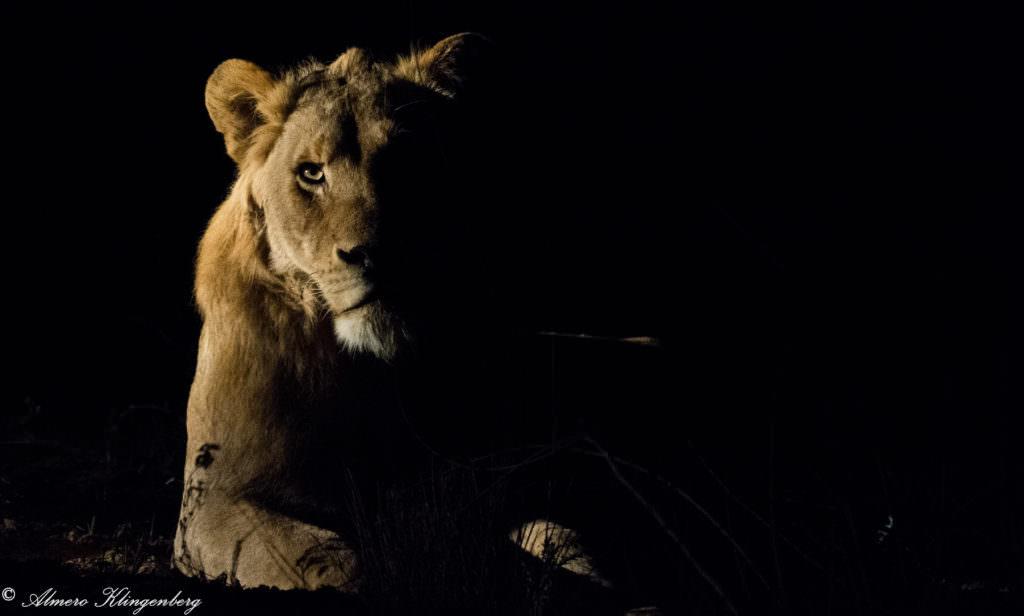 Timbavati lions