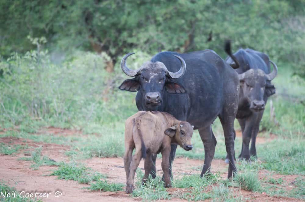 Buffalo Kruger