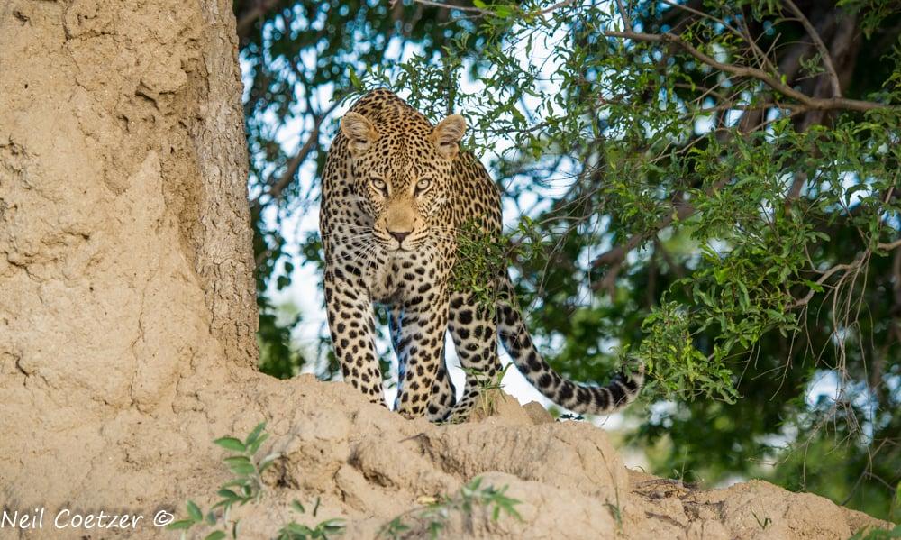 Kruger Leopards