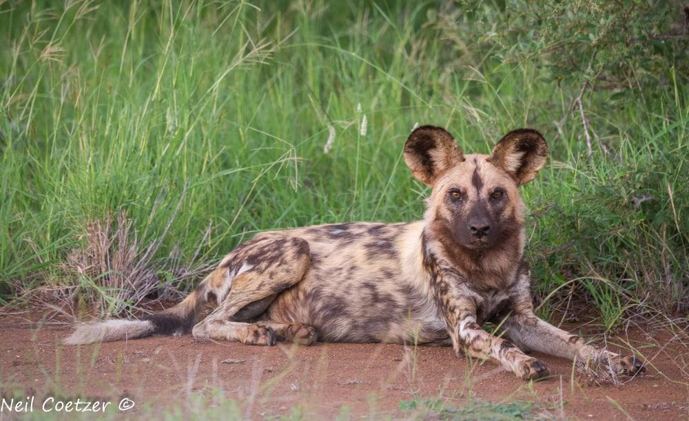 African Wild Dogs Kruger