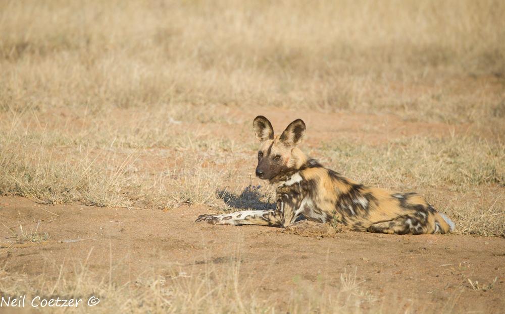Wild Dog Kruger Park