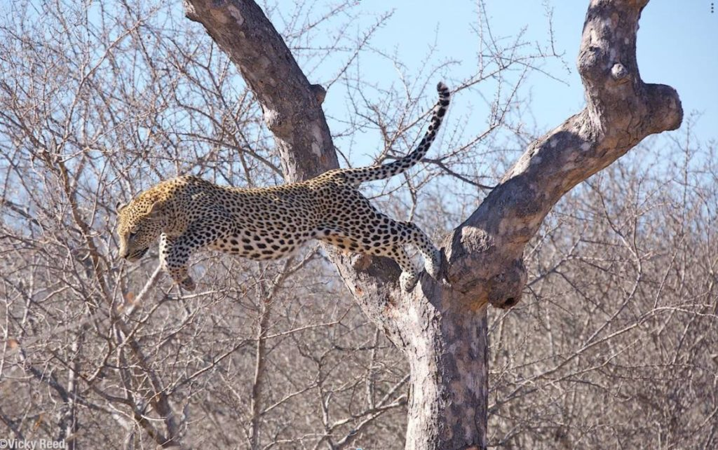 leopards in Africa
