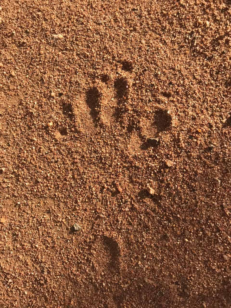 Animal Tracks Quiz | Test Your Knowledge | Kings Camp Timbavati Blog